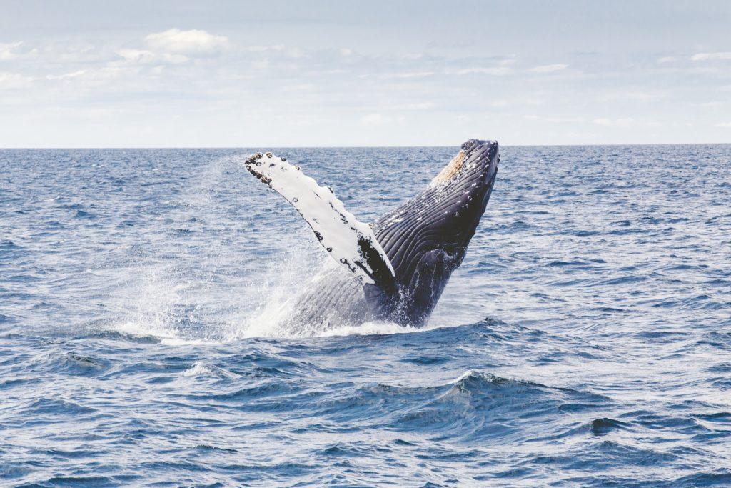 whale watching warrnambool