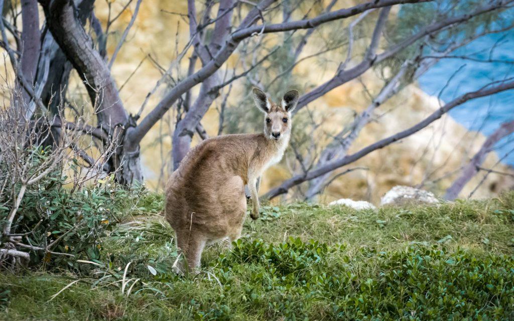 anglesea kangaroos