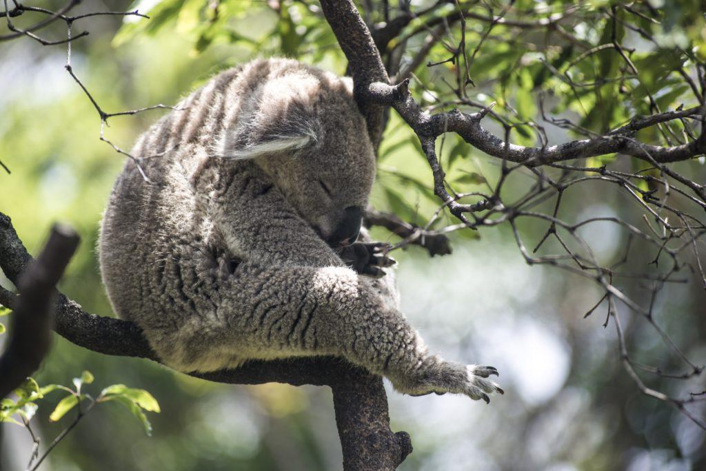 koala in lorne australia