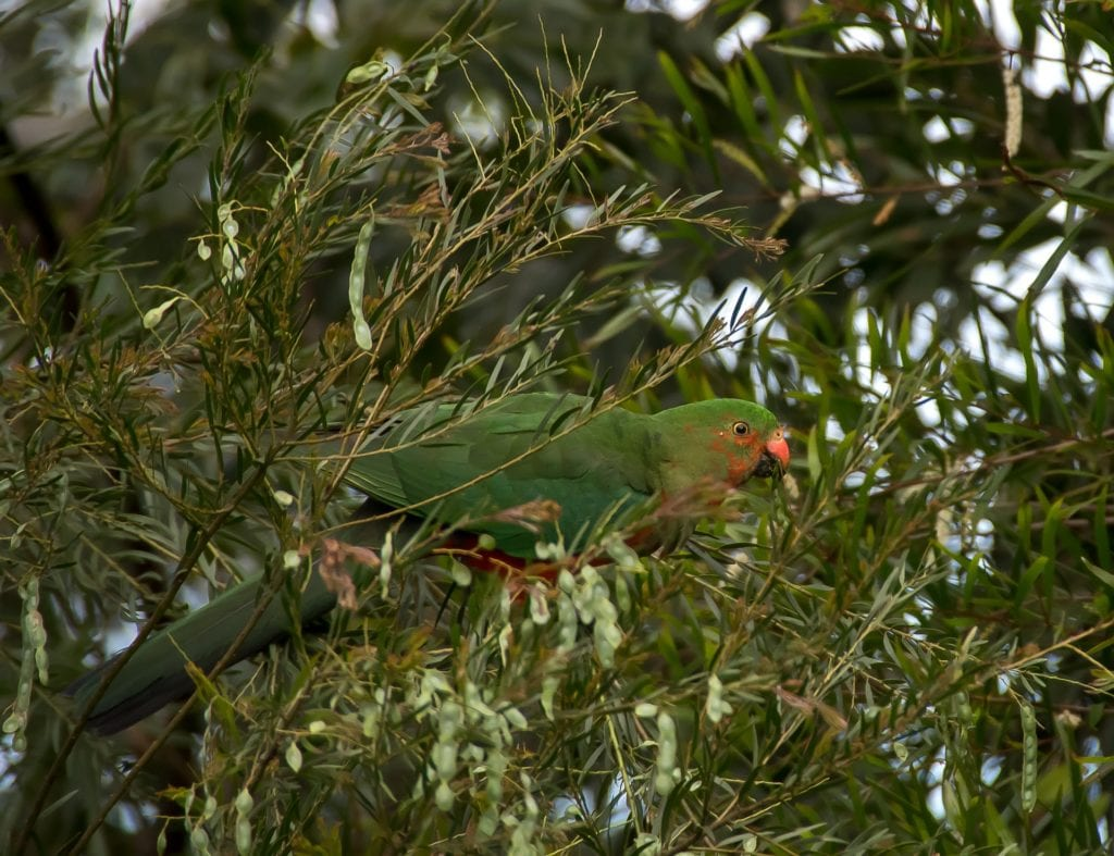 observing a king parrott in kennett river