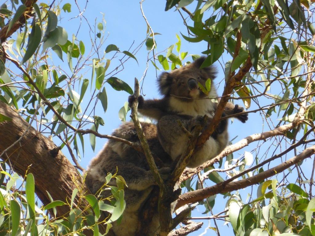 kennett river koala walk: the top things to do in kennett river