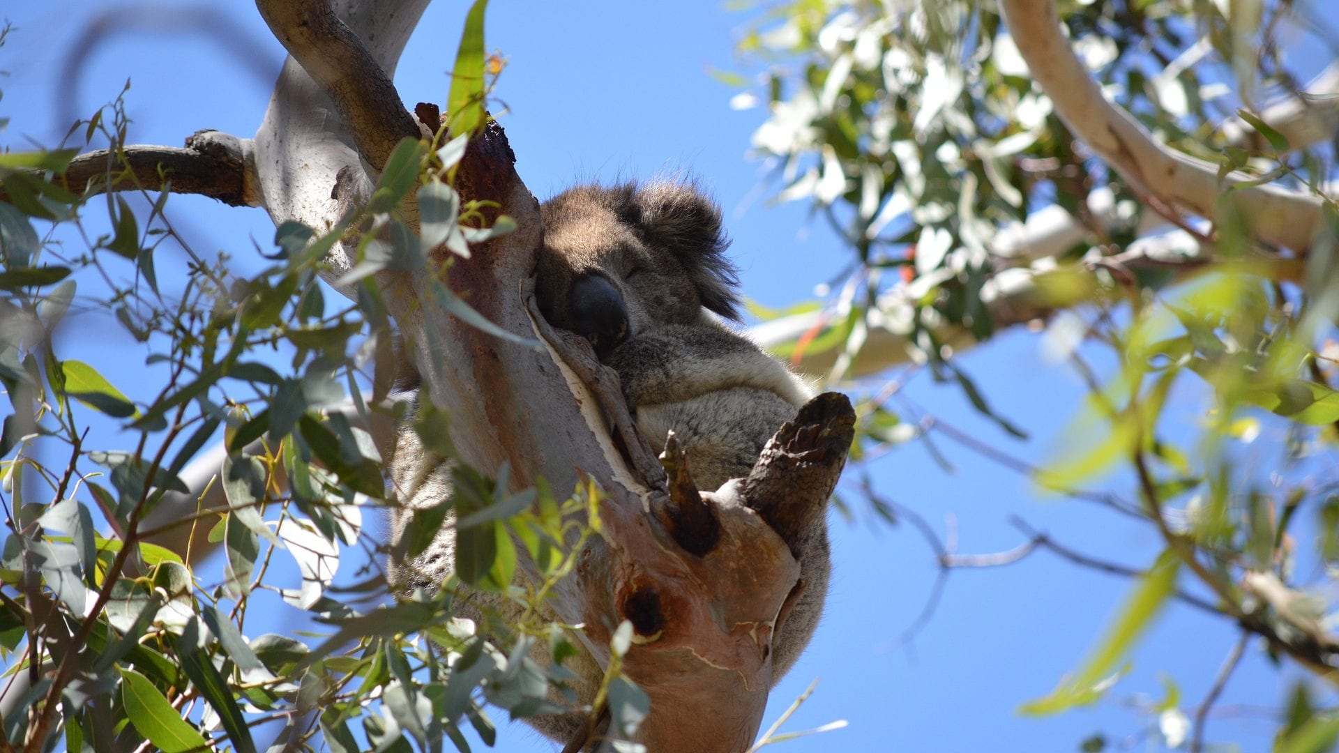 Kennett River Koala Walk