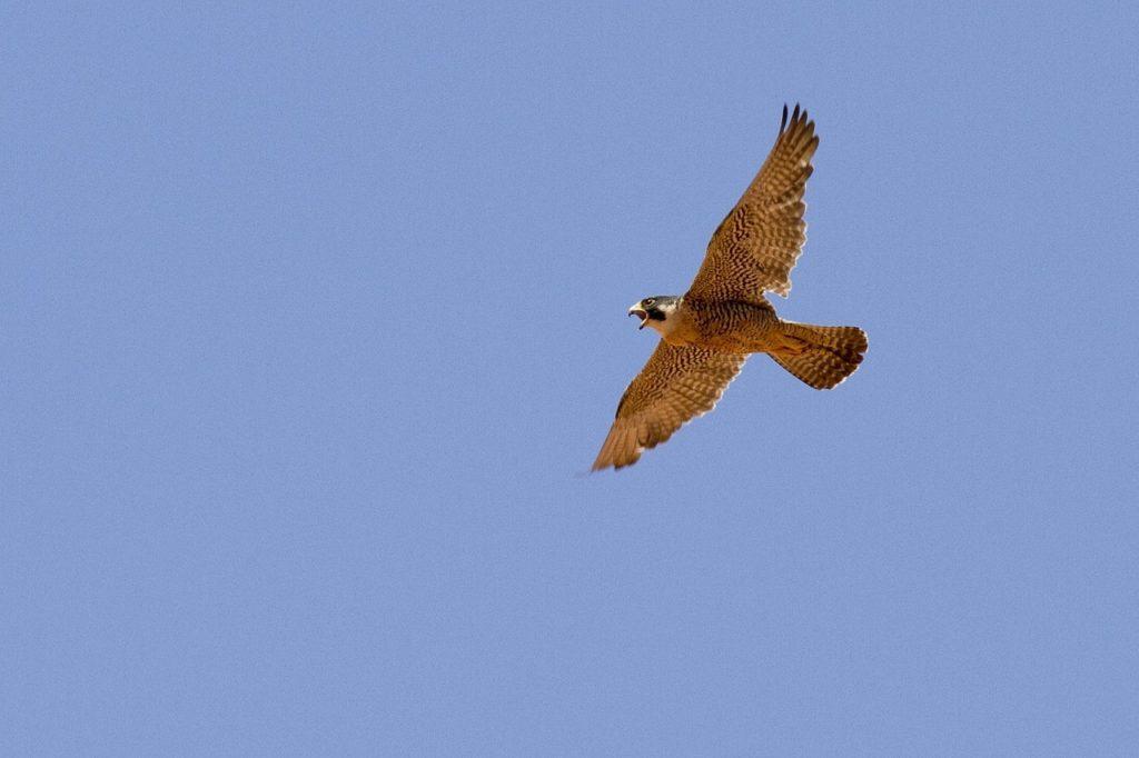 peregrine falcon in aire valley