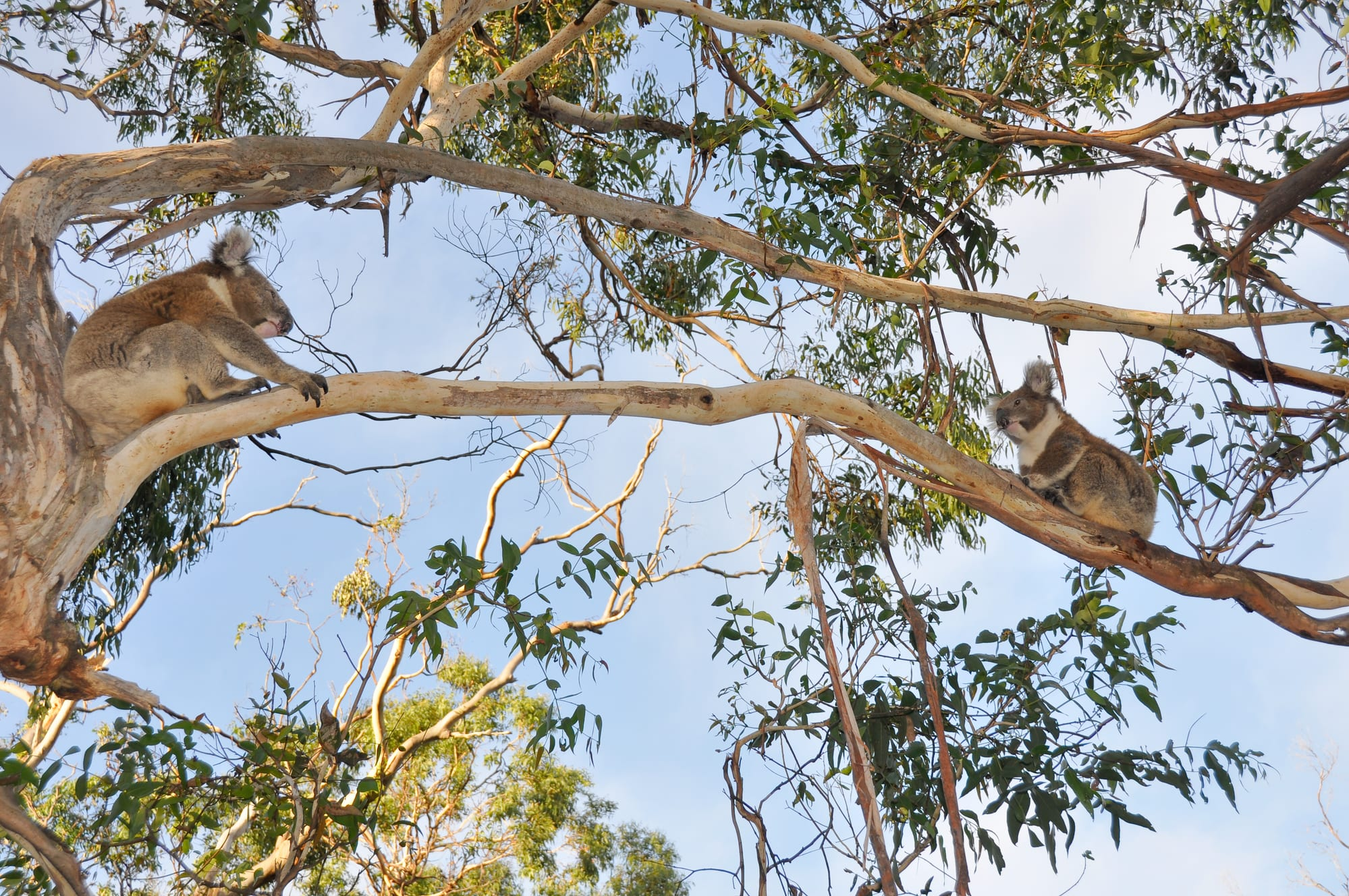 The Kennett River Koala Walk: The Best Place to See Koalas on the Great Ocean Road