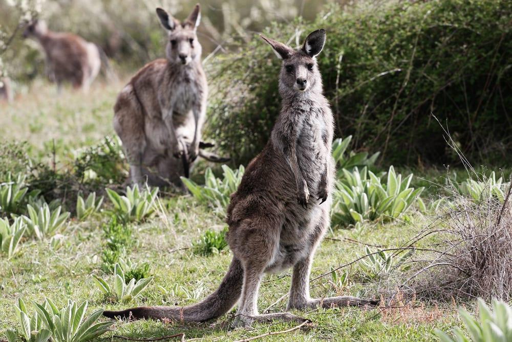 kangaroo kennett river