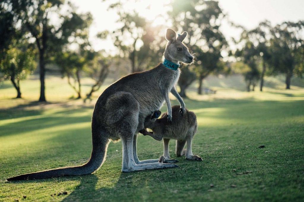 Kangaroo and baby, Australia, Victoria, The Great Ocean Road